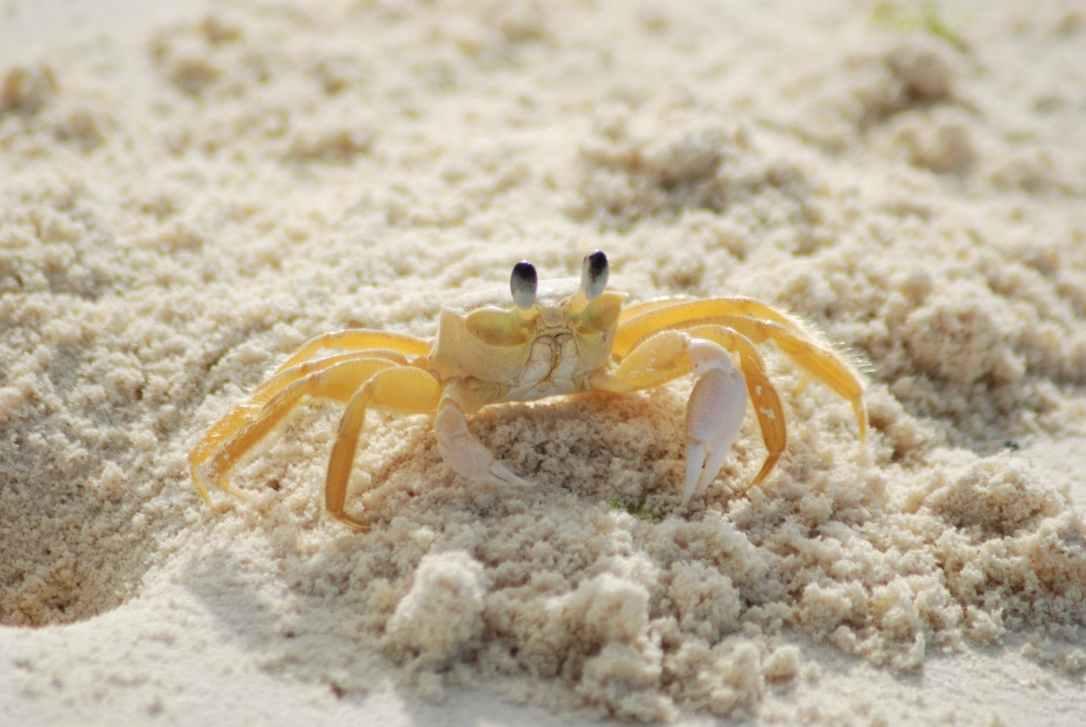 beach ocean yellow crab