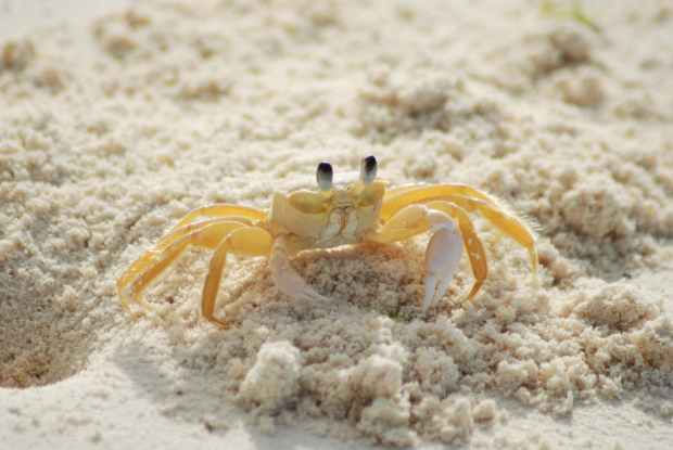 beach ocean yellow crab